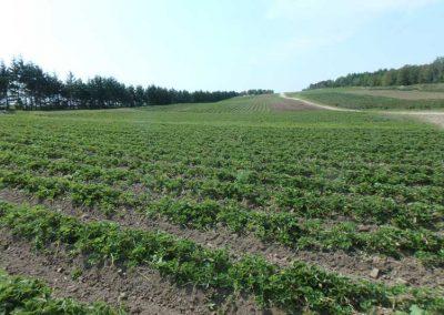 champs-fraises