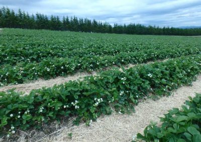fraises-fleurs-800